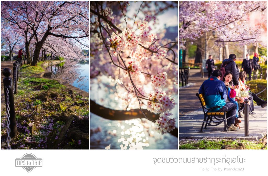 Tip to Trip by Promotion2U Hidden Gem Sakura Route in Ueno P