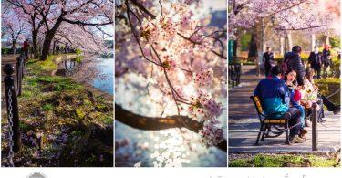 Tip to Trip by Promotion2U Hidden Gem Sakura Route in Ueno P
